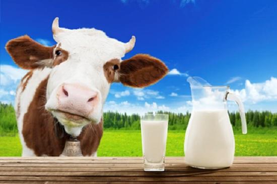 Коровье молоко: пить или не пить