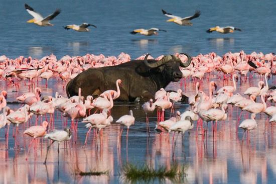 В национальный парк Кении вернулись розовые фламинго – первый раз за последние 8 лет