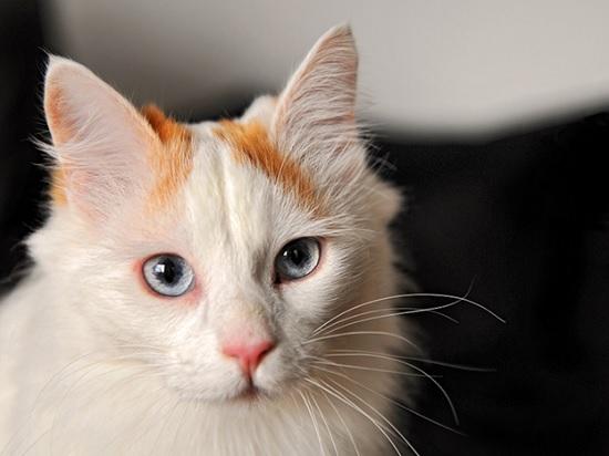 Ванские кошки обожают Моцарта