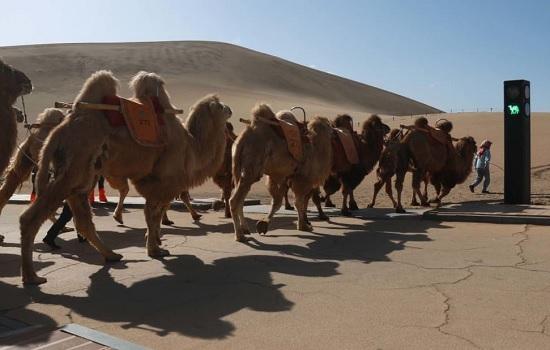 В КНР установили светофор для верблюдов