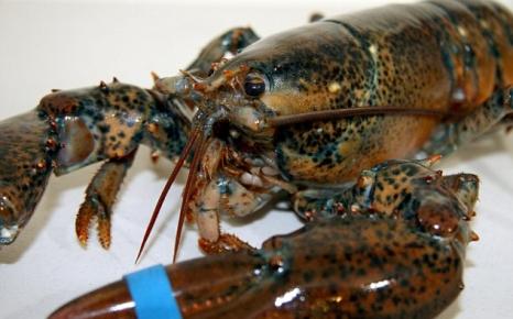 канадский омар из улова с резинкой на клешне