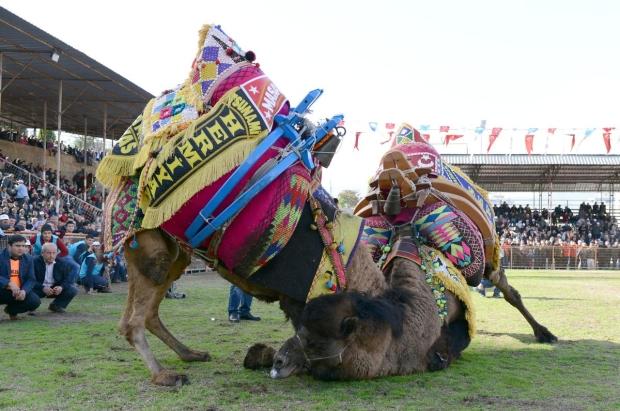 Сегодня среди богатых турок считается престижным иметь несколько бойцовых верблюдов.