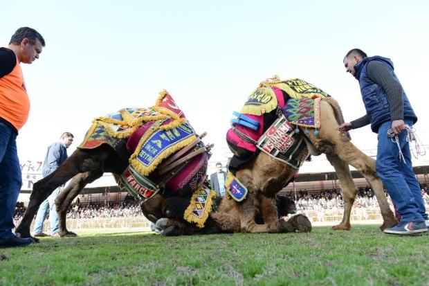 История верблюжьих боев старше истории Турции