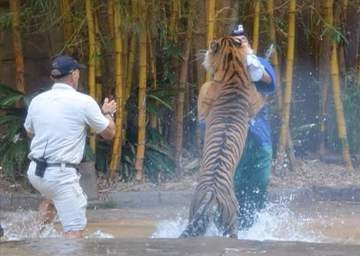 тигр атакует