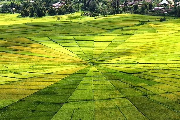 По всей Азии люди выращивают рис, но местные рисовые поля выглядят впечатляюще