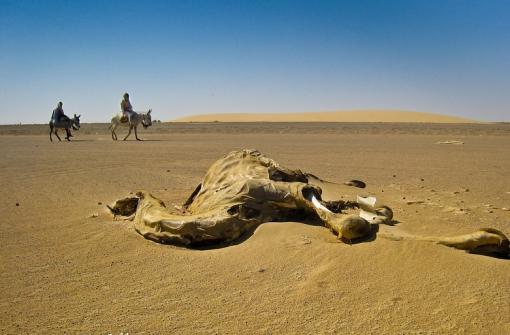 мертвый верблюд в пустыне