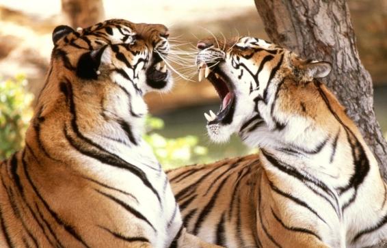 тигра баснями не кормят