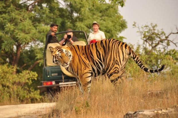 туристы считают, что легче увидеть королеву Англии, чем бенгальского тигра