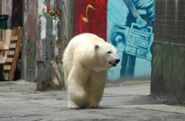 в городке Черчилл белые медведи - частые гости